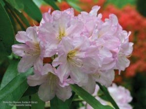 wallpaper-rhododendron