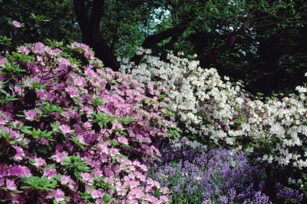 Historic image of azaleas and bulbs