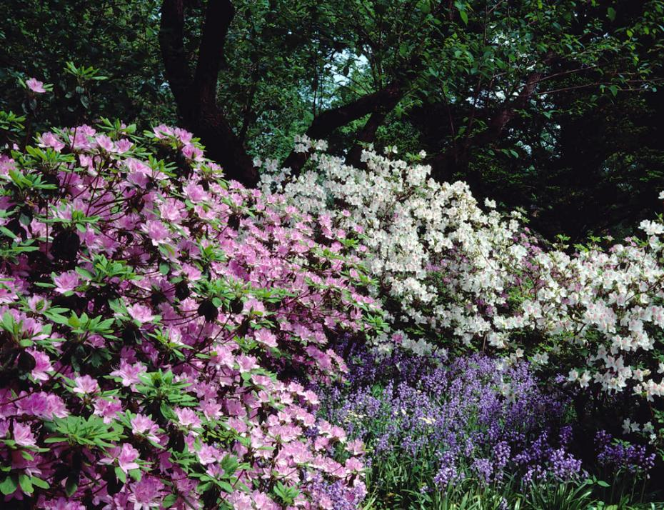Historic image of azaleas and bulbs