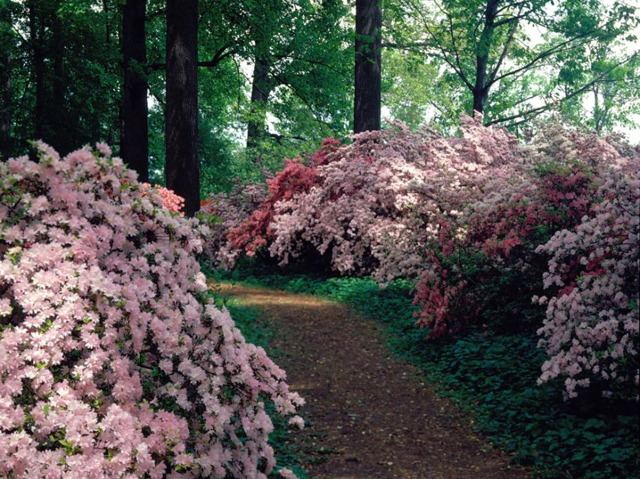 path through azalea woods