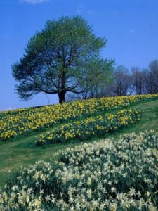 daffodils on a hill